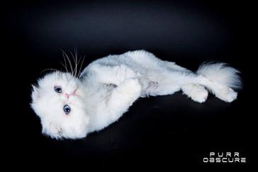 Elevage de chats Foldex | Paris |