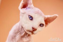 Océan male kitten Sphynx