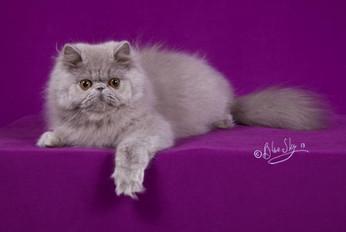 Grand mère paternelle de Beauregard : Choclobears Opale of Shamal est un rare chat exotic de couleur lilas - Copyright Chatterie Shamal
