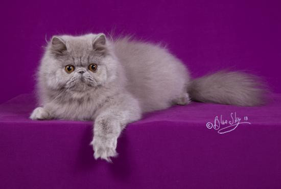 Choclobears Opale of Shamal (LILAC EXO) is Beauregard's grand mother (from the dad) - Copyright Shamal Cattery