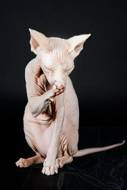 ODD EYES SPHYNX CAT QUEEN