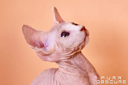 Oréa female Sphynx kitten