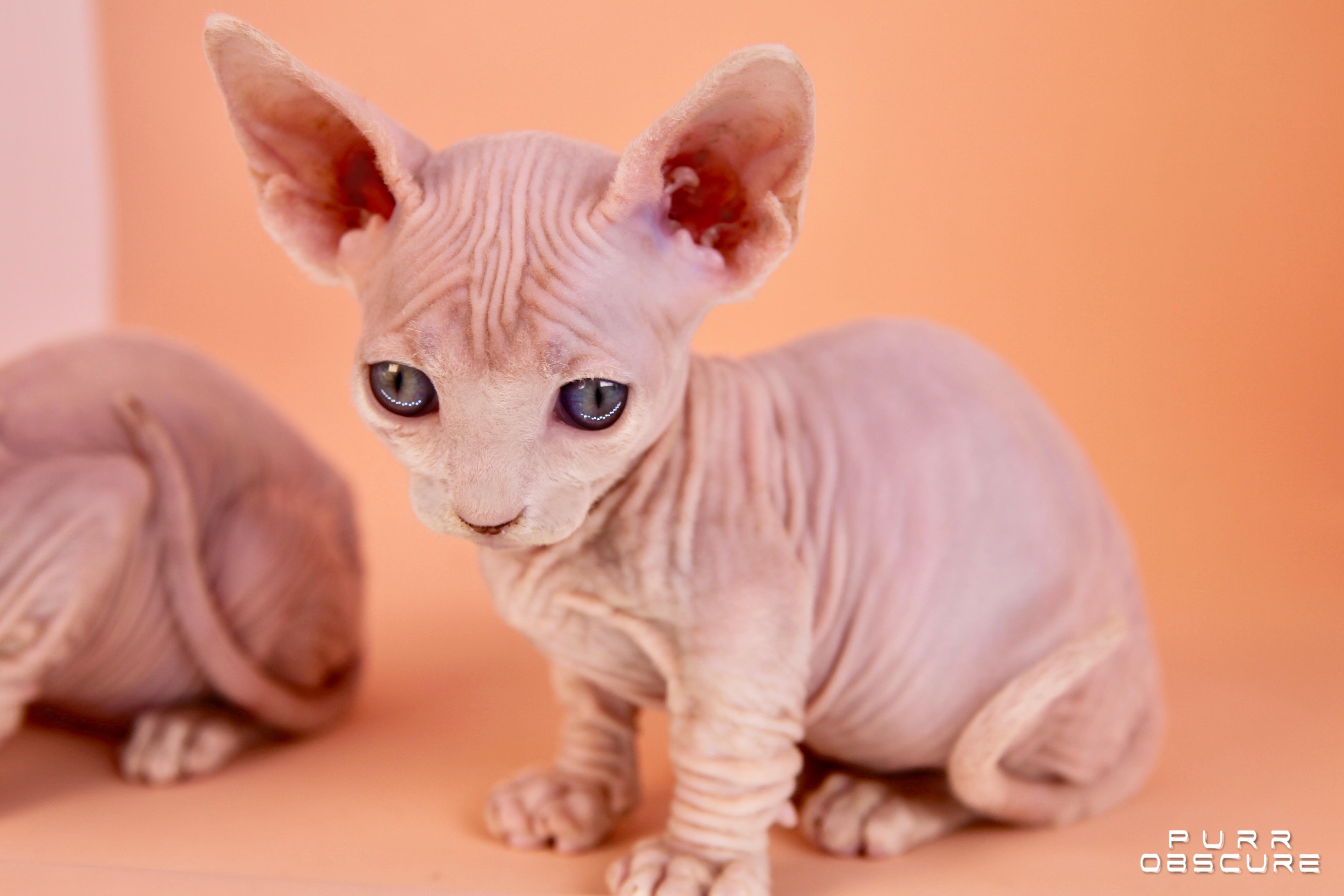 Olympe chaton mâle bambino