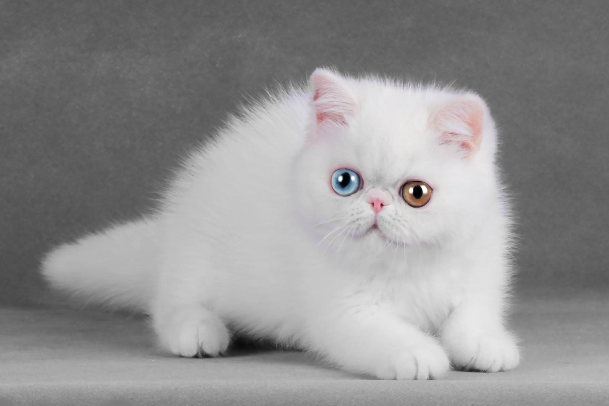 EXOTIC SHORTHAIR YEUX VAIRONS