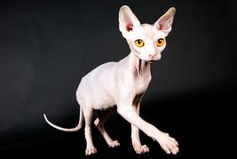 KOHANA SPHYNX CAT QUEEN