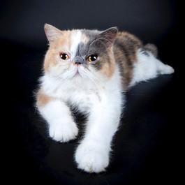 J'ADORE CAT EXOTIC SHORTHAIR QUEEN