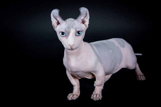 ZEUS DWELF KING - LE NOUVEAU CHAT SPHYNX