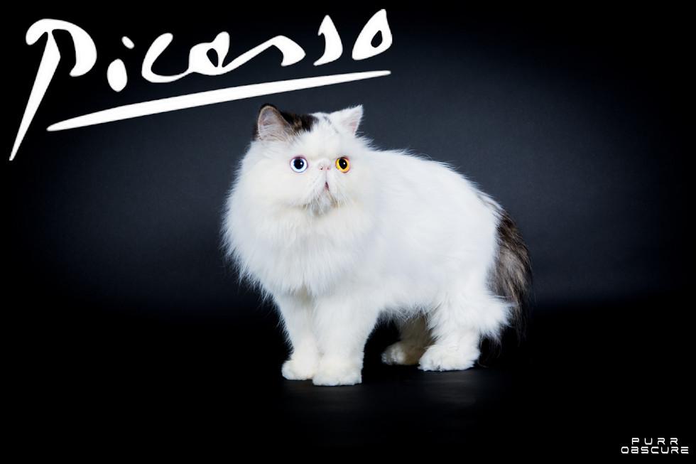PICASSO - PERSIAN VAN ODD EYES