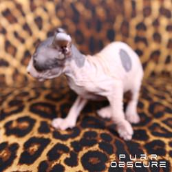 Camélia kitten Elf female