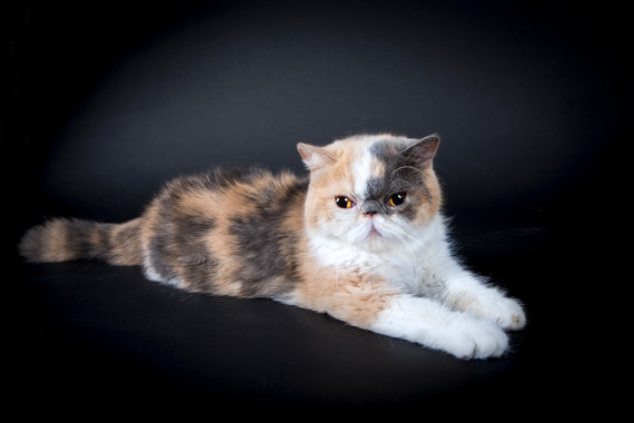 J'ADORE CAT EXOTIC SHORTHAIR QUEEN