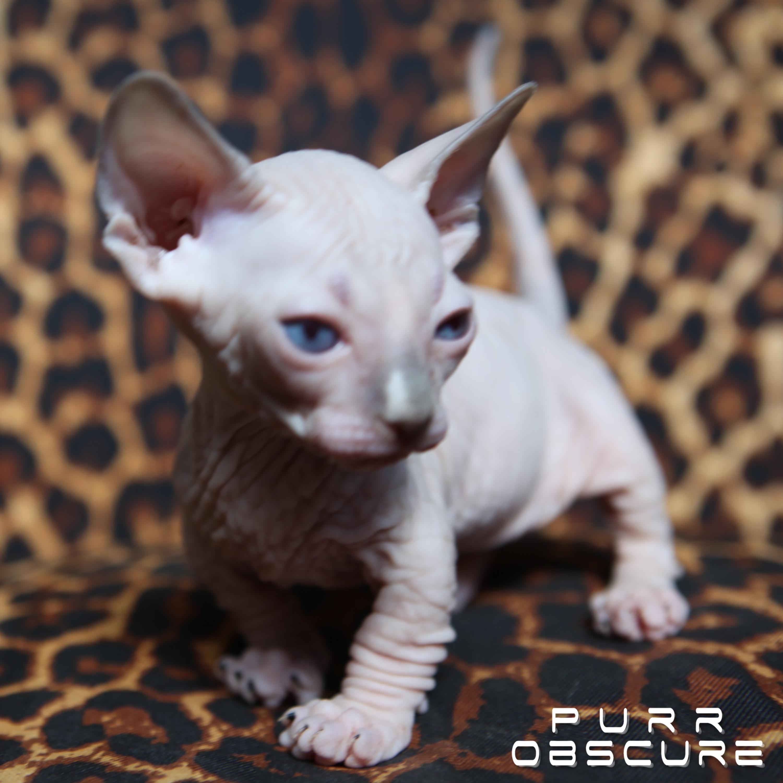 Orion Chaton Bambino Male