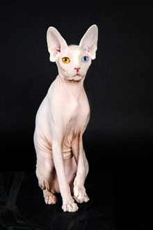 E.T. CHAT VAIRON - SPHYNX QUEEN