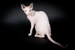 ODD EYES SPHYNX CAT QUEEN