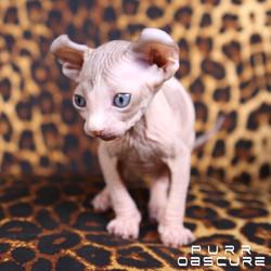 Opium kitten Elf male