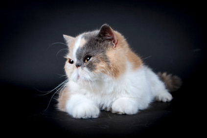 J'ADORE CHAT EXOTIC SHORTHAIR QUEEN