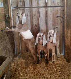 Butterscotch's 3 bucklings