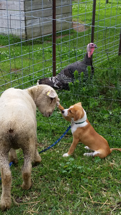 Copper with Sheep