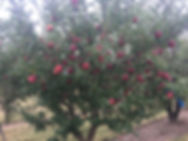Peach tree at U-Pick Orchard