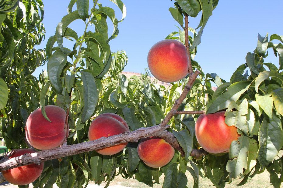 Tree Ripened Palisade Colorado Peaches
