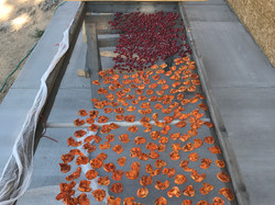 Dried Apricots and cherries_5 days in the sun