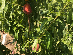 Peaches rippening July 2017