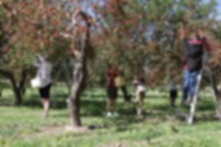 U-Pick Pie Cherries Palisade Colorado U-Pick Orachard