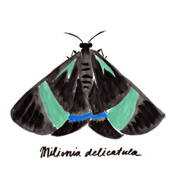 Day-flying Moths_with names_wht grnd-04.