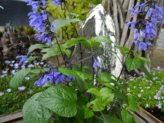 Sommerflor blau