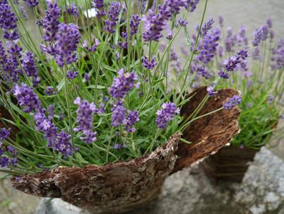 Lavendel in Rindentopf
