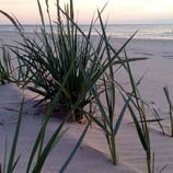 Nadmorskie trawy