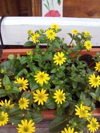 Polegnatka żółto kwiatnąca