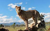 Cheetah-Outreach.jpg