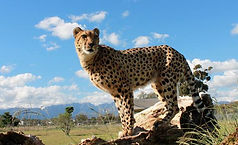 Cheetah-Outreach.jpg