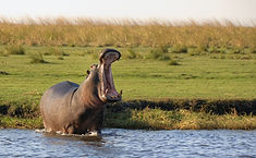 hippo-in-Chobe-National-Park-opening-his