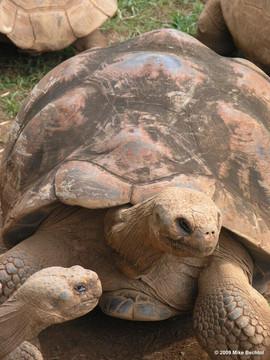 Tortoise at Honolulu Zoo