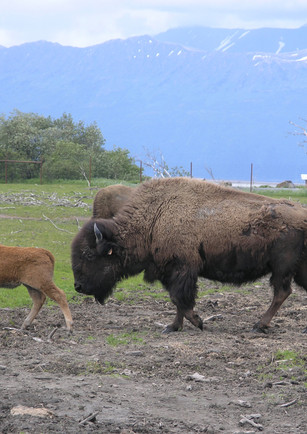 Bison - Alaska Wildlife Conservation Center