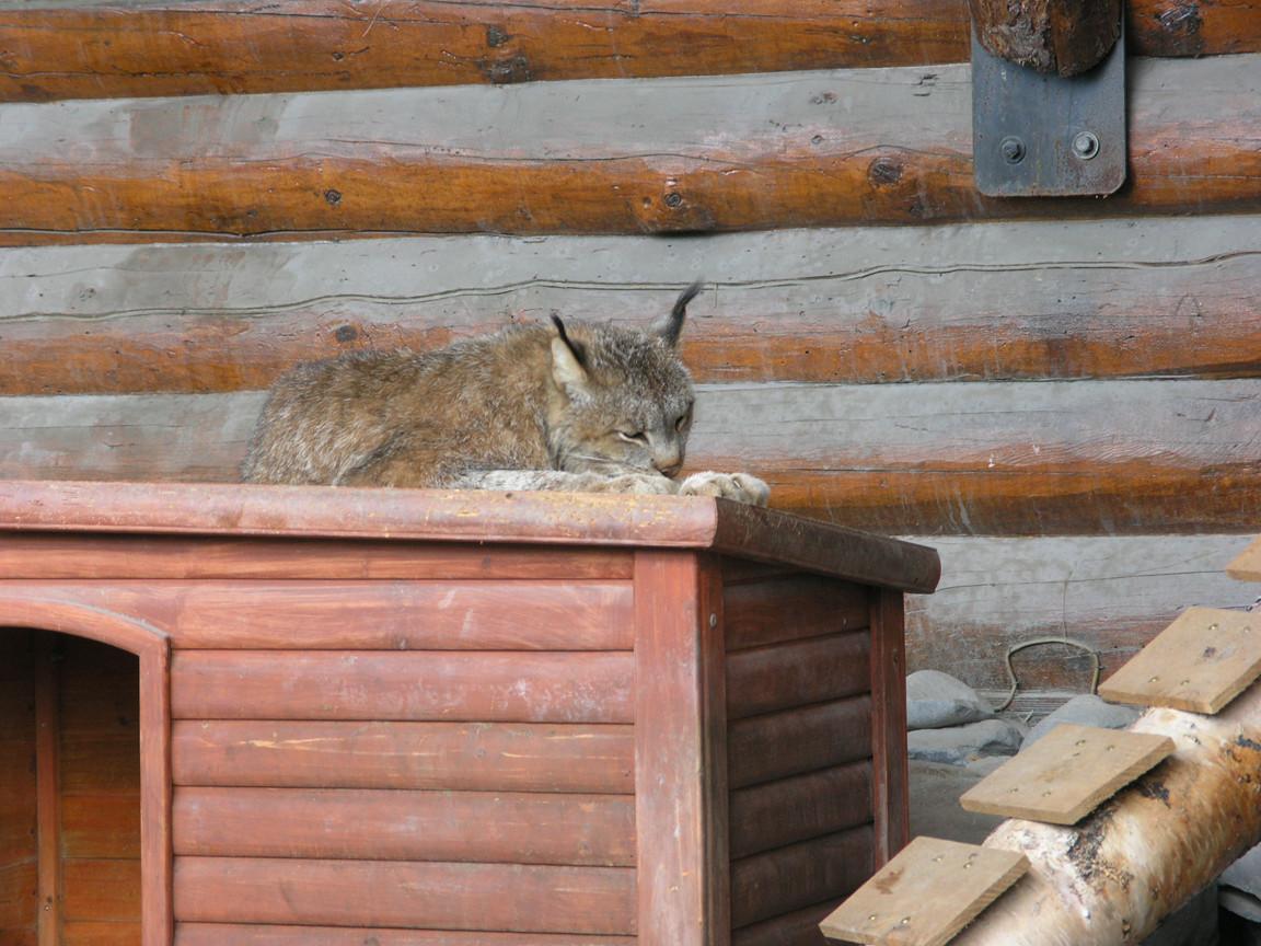 Lynx - Alaska Wildlife Conservation Center