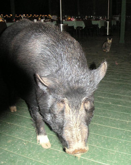 """""""Piggly-Wiggly"""" the Pig at Kahua Ranch"""