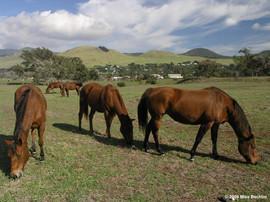 Parker Ranch Horses