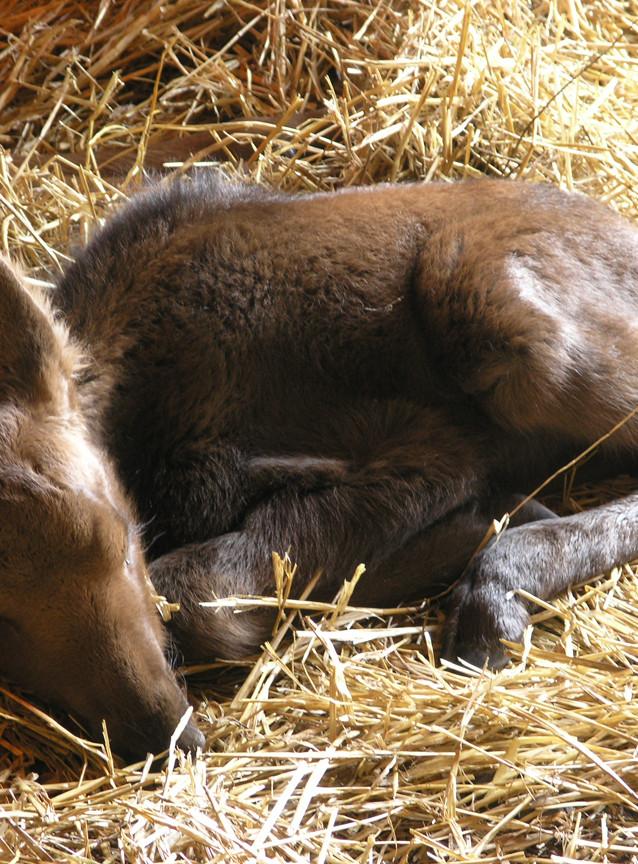 Baby Moose - Alaska Wildlife Conservation Center