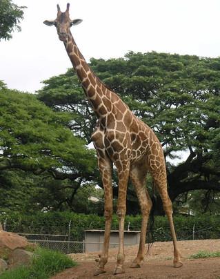 This is a Giraffe