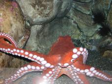 Giant Octopus - Alaska Sealife Center - Seward