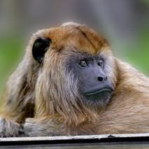 howler monkey chillin2.jpg