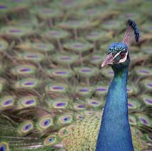 Indian peafowl 03.jpg