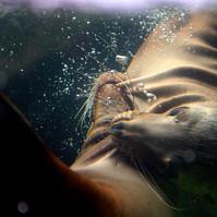 california sea lions playing 01.jpg