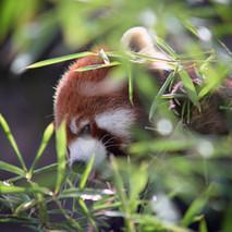 red panda eating bamboo.jpg