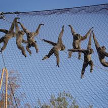 Gibbon Brachiation two.jpg