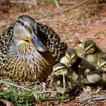 duck with chicks 02.jpg
