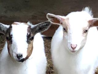 Baby Nigerian Dwarf Goats