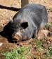 Piggy needs a home